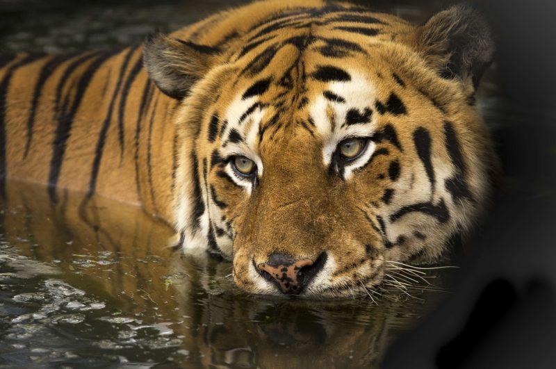 Schweinepest gefährdet Tiger