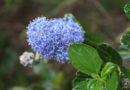 Gartensträucher: Blaue Säckelblume