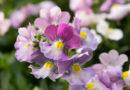 Gartenblumen: Elfenspiegel