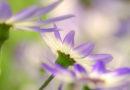 Gartenblumen: Aschenblume