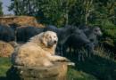 Einsatz von Herdenschutzhunden