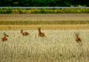 Wildtiere kennen keine Verkehrsregeln