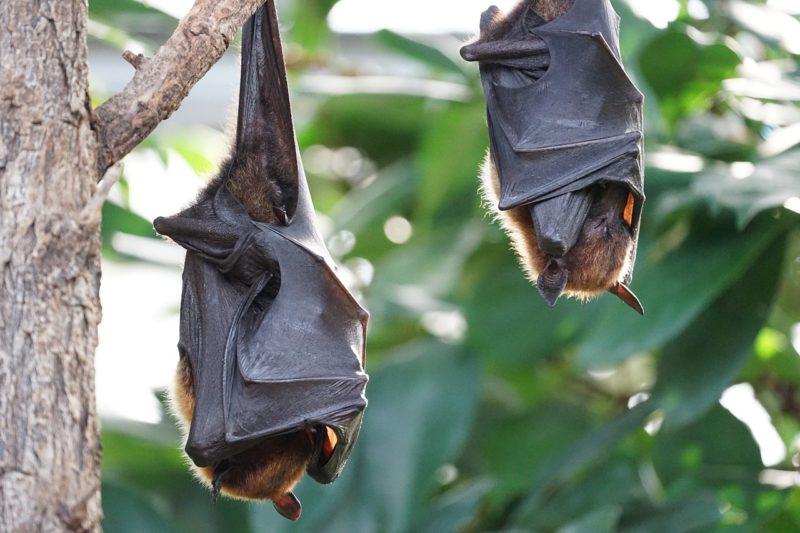 NABU-Experten warnen: Auch Fledermäuse leiden unter Wohnungsnot