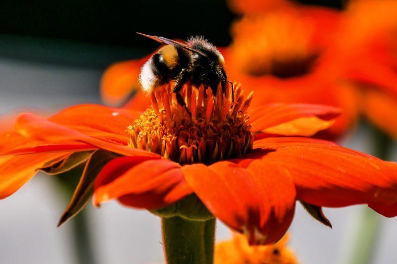 NABU:  Steinhummel liegt zur Halbzeit beim Insektensommer vorn