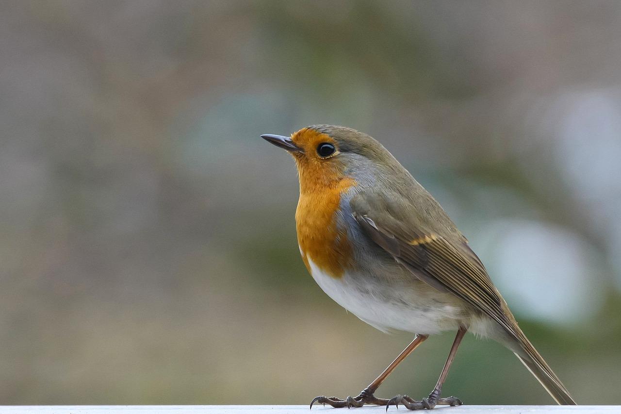 Leimruten und Netze gefährden unsere Zugvögel