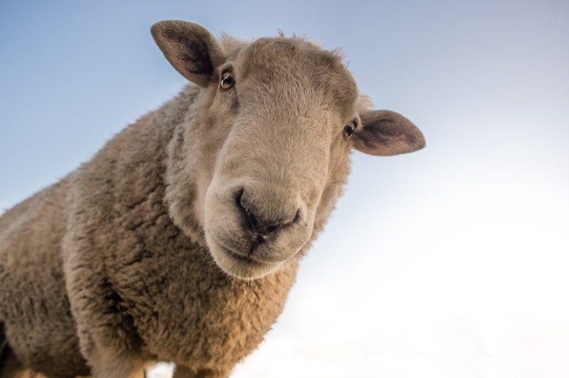 Enthüllungen zeigen Missbrauch an Schafen: Forever 21 im Fadenkreuz von PETA