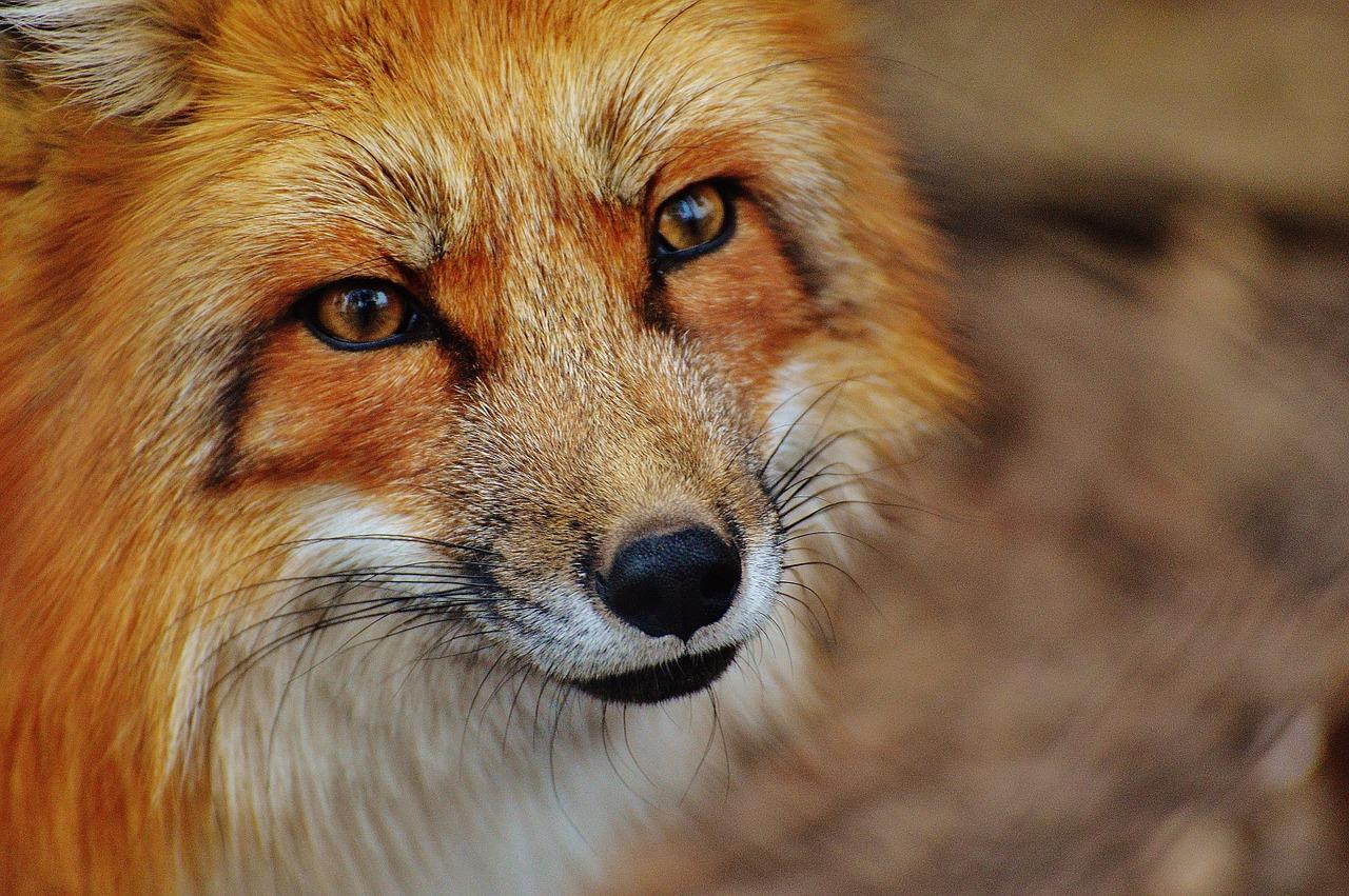 28. September: Deutschland offiziell 10 Jahre frei von terrestrischer Tollwut – PETA fordert bundesweites Verbot der Fuchsjagd