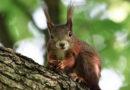 Wassermangel ist Problem: Eichhörnchen finden leere Nüsse