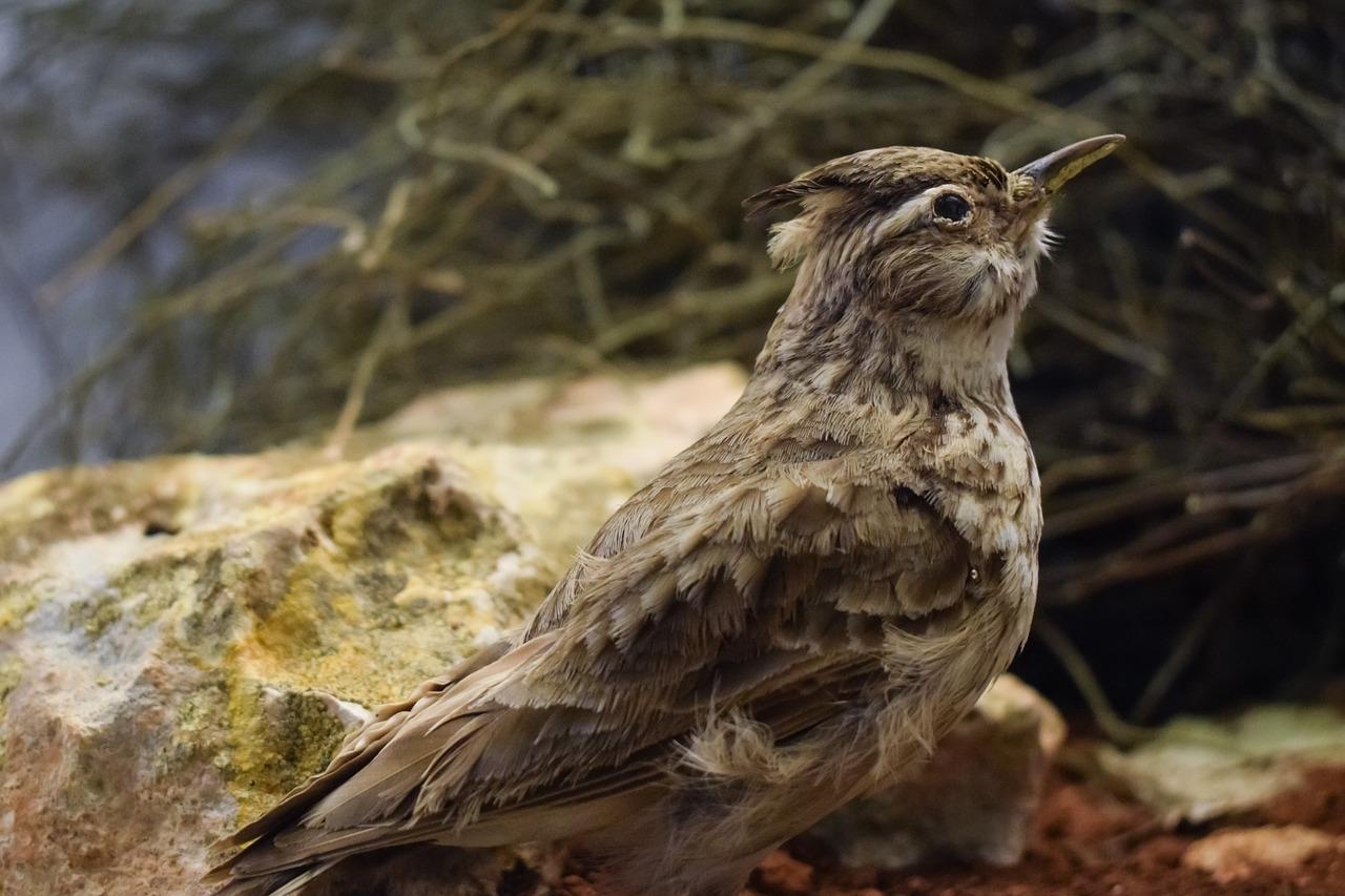 Feldlerche ist Vogel des Jahres 2019
