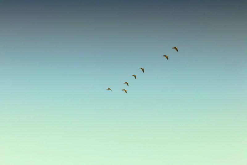 Zugvögel: Mais zur Stärkung für die lange Reise