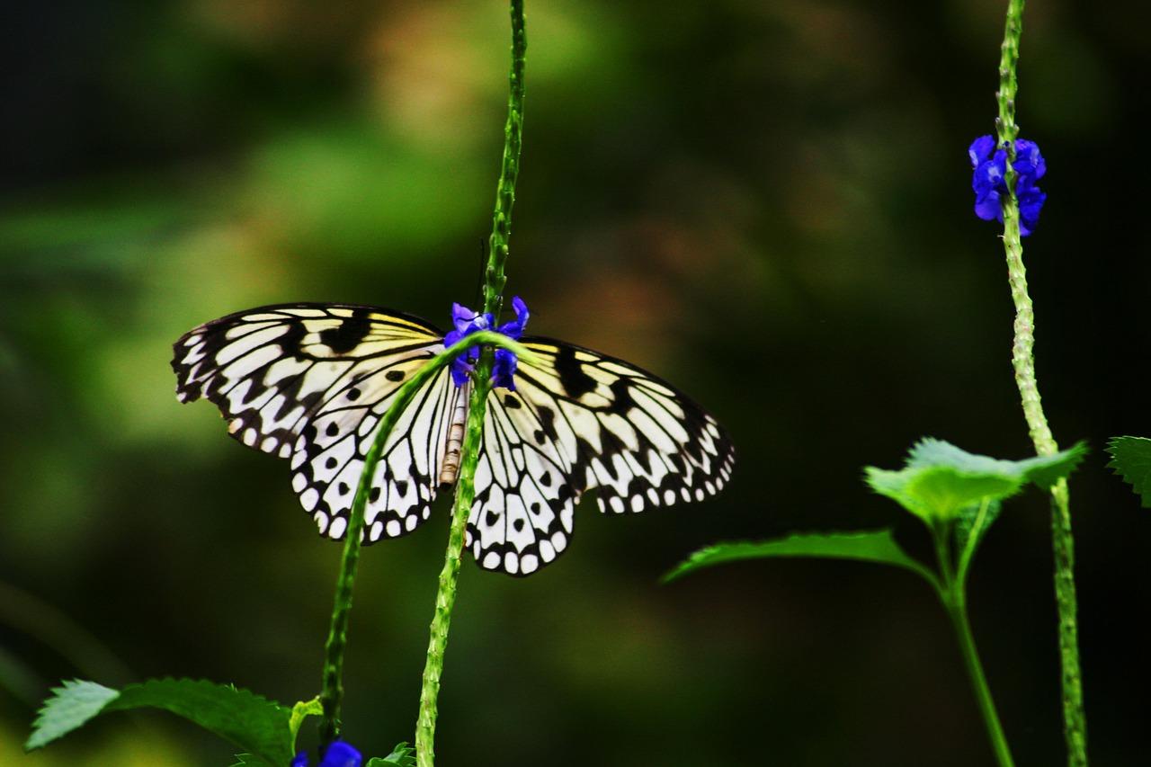 NABU: Das Schachbrett ist Schmetterling des Jahres 2019