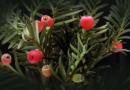 Giftige Weihnachtsblüher Vorsicht bei Amaryllis, Weihnachtsstern und Christrose