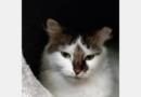 Bei älteren Katzen sollte der Tierarzt regelmäßig Blutdruck messen