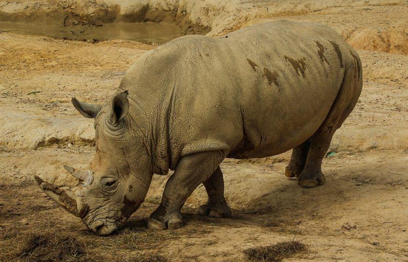 Nashorn-Krise spitzt sich zu