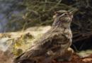 Vom Paradiesvogel zur Feldlerche – Der NABU feiert 120. Geburtstag