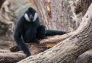 Mütter werden getötet um Nachwuchs zu verkaufen: Der Gibbon ist das ,Zootier des Jahres 2019'