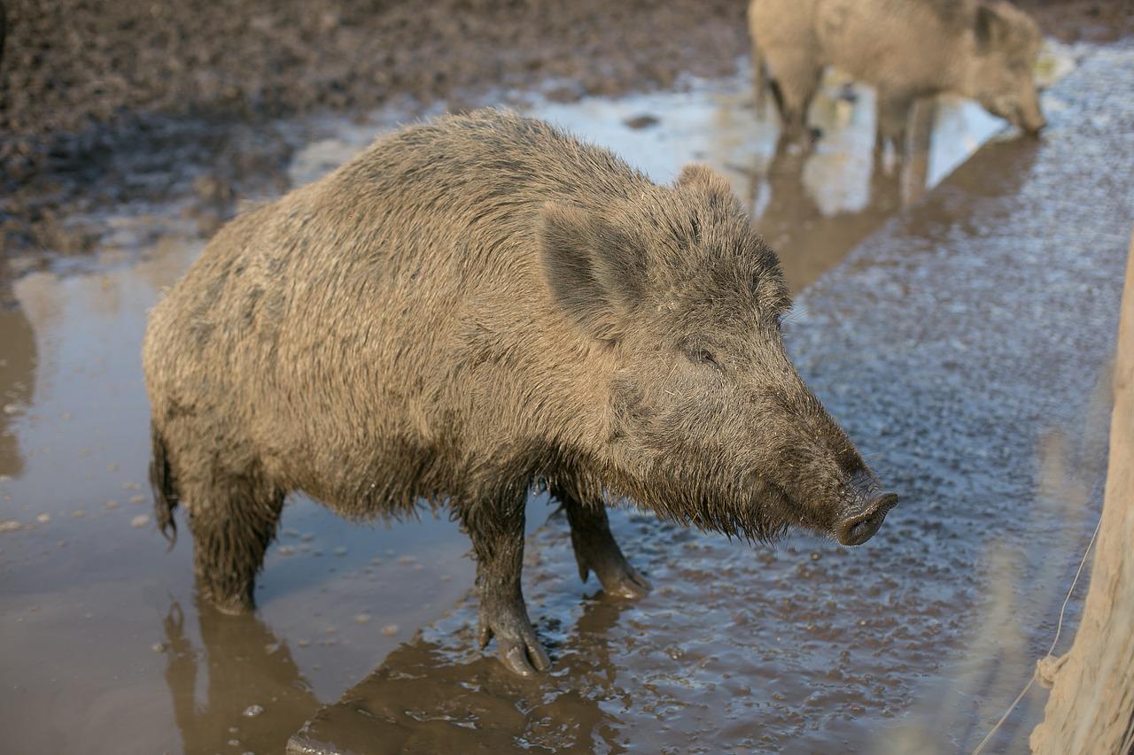 NABU lehnt dänischen Wildschweinzaun ab