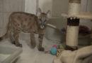Illegaler Tierhandel: Deutscher hielt Pumawelpen in eigener Wohnung