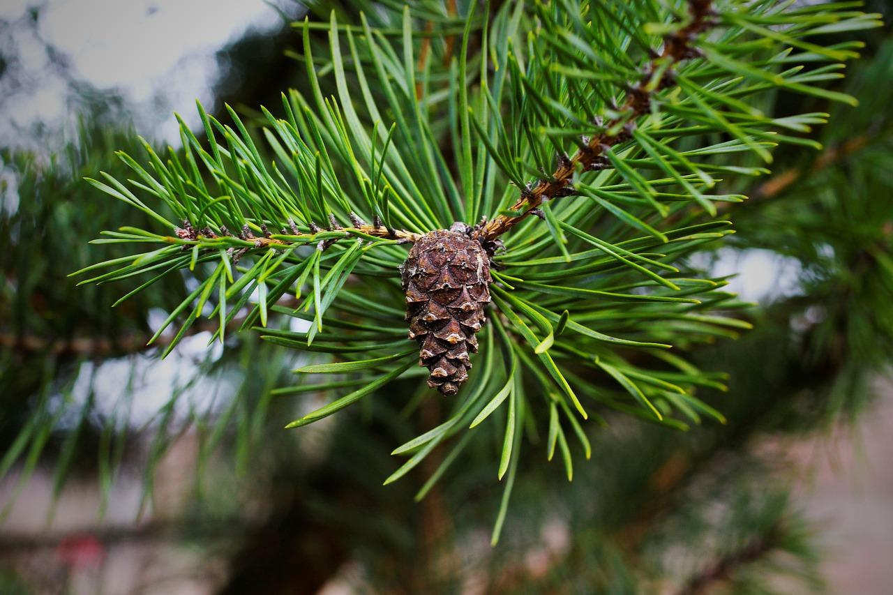 Etwa drei Viertel des Holzeinschlags in Deutschland stammten 2017 von Nadelbäumen
