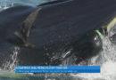 Deutscher Taucher von einem Wal verschluckt worden