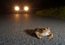 Achtung Autofahrer – Kröten und Frösche sind unterwegs in die Flitterwochen