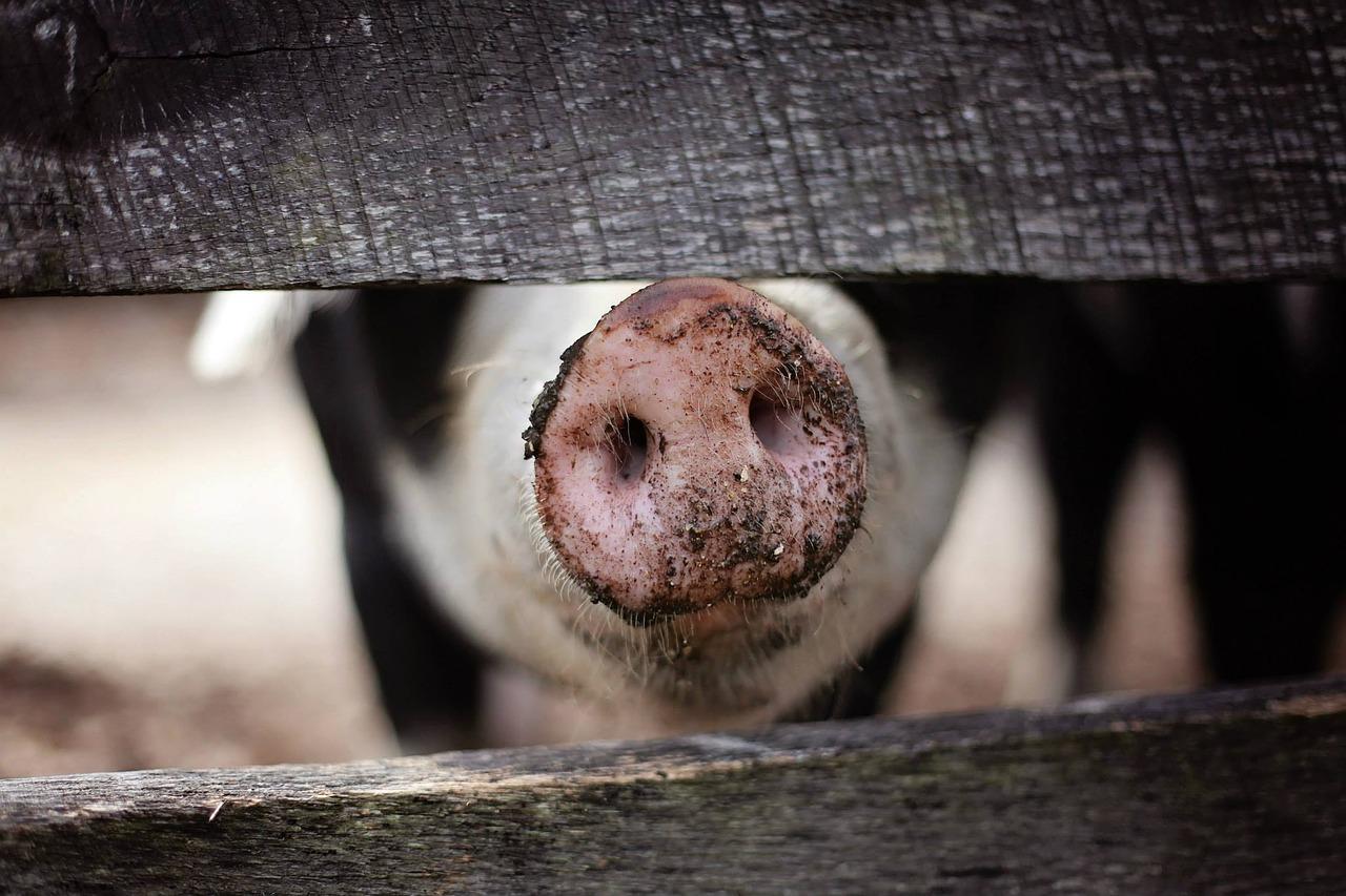 """Schweinezüchter nach Recherchen von stern TV und """"SOKO Tierschutz"""" wegen Tierquälerei zu mehrjähriger Haftstrafe verurteilt"""