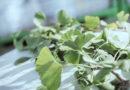 Pflanzen als Heilmittel