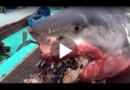 Bilder wie aus Horror-Schocker: Weißer Hai an Riesenschildkröte erstickt