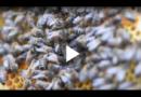 «Knast-Bienen» bringen Häftlingen Geduld bei