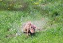 Jagdvergehen: Tierfotograf gelingt Aufnahme einer illegalen Fuchstötung
