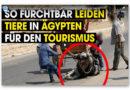 Schockierendes Video: Pferde und Kamele in ägyptischer Tourismusindustrie blutig geschlagen