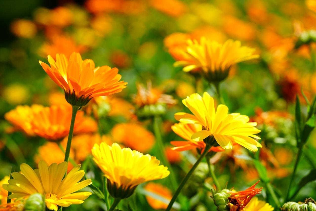 Die Gartenrowdys: Ringelblumen