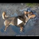 Dieser Hund wurde in Teer gefangen aufgefunden