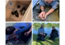 Polizei rettet Entenküken aus lebensbedrohlicher Situation: Ente und ihre sieben Küken in der Aue ausgesetzt
