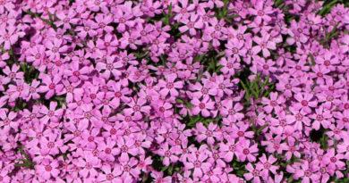 Die Gartenrowdys: Flammenblumen