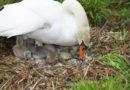 Frisch geschlüpfter Schwanennachwuchs auf der Insel Siebenbergen