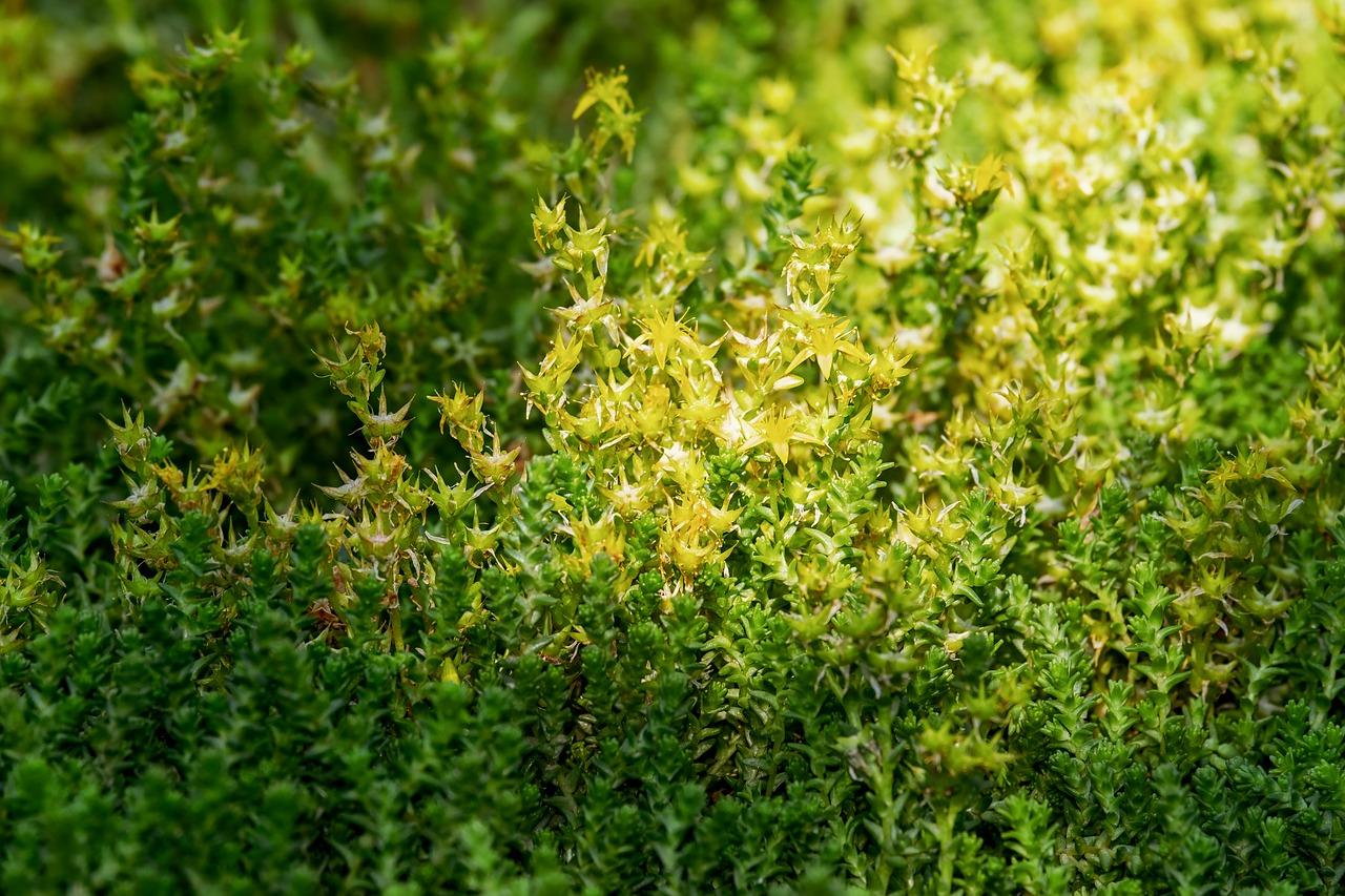 Die Gartenrowdys: Mauerpfeffer
