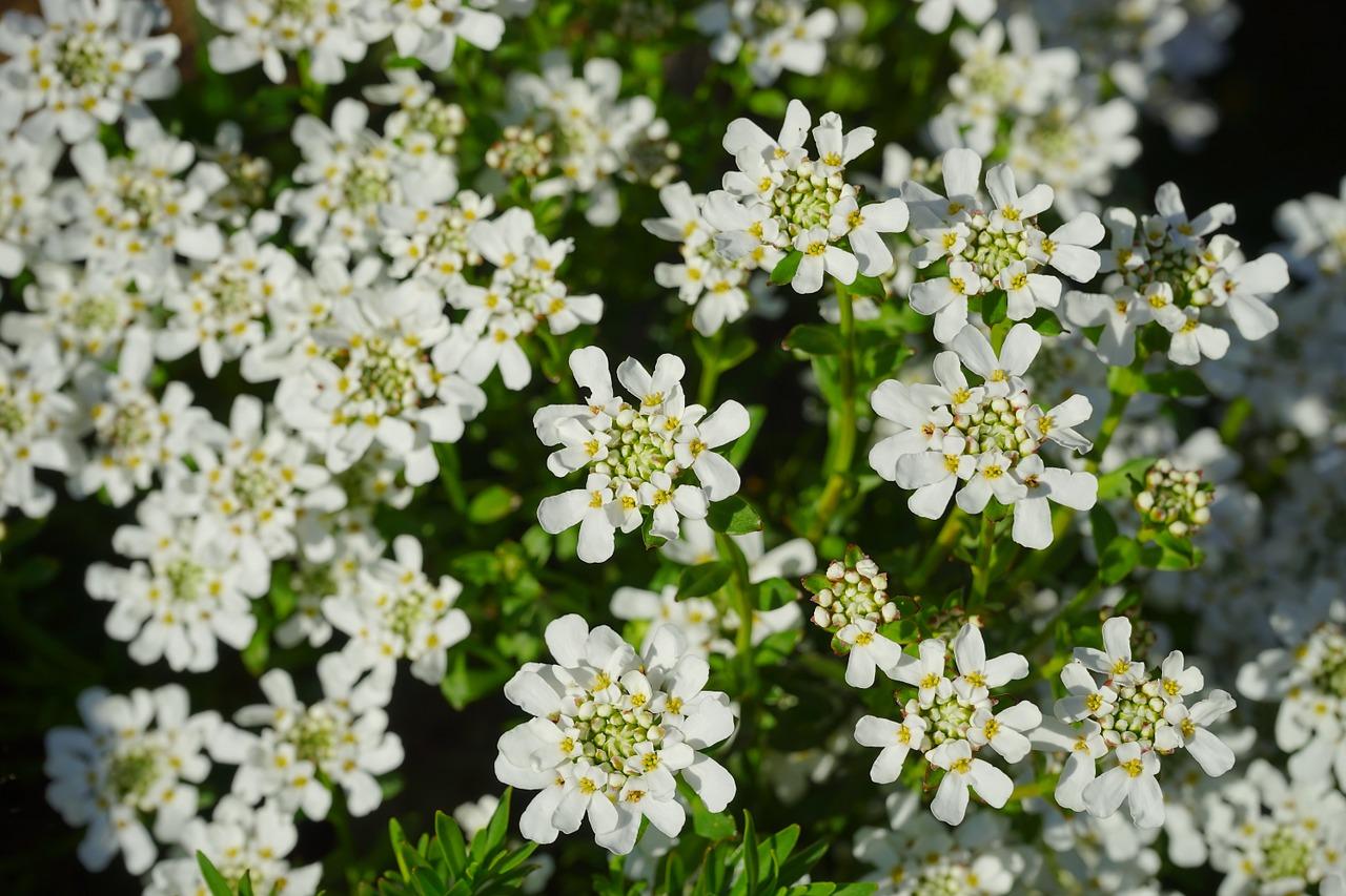 Die Gartenrowdys: Die Schleifenblume