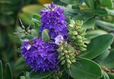 Die Gartenrowdys: Strauchveronika
