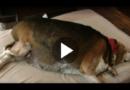 Hund mit 26 Kilogramm Übergewicht: Beagle muss abnehmen