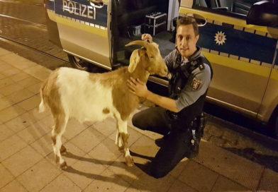 Tierischer Einsatz für Polizeirevier Süd-West: Streife fängt Ziege bei nächtlichem Ausflug ein