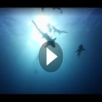 Originalaufnahmen zeigen: Riesenfisch frisst lebenden Hai