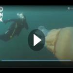 In den Tiefen des Atlantiks: Taucherin schwimmt mit gigantischer Riesenqualle