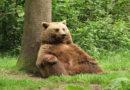 Klickertraining: Bären üben für den Umzug