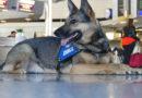 Rauschgiftspürhund Zaro vom Hauptzollamt Frankfurt am Main erschnüffelt drei Kilogramm Kokain in einer Reisetasche