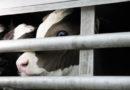 Trotz Extremtemperaturen und vorsätzlicher Tierquälereien am Zielort weiterhin Tiertransporte in Nicht-EU-Staaten: PETA zeigt Amtsveterinäre aus zehn Landkreisen an