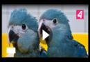 Blauer Ara-Papagei ausgestorben!