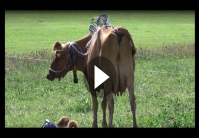Es wird immer doller: Kühe sind in Verruf geraten wegen ihrer Methanproduktion!