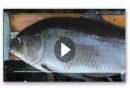 Sensation: Forscher finden den ältesten Süßwasser-Fisch der Welt