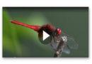 Spektakuläre HighSpeed-Aufnahmen zeigen Libellen im Flug